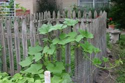 Ecstatic fence climbing squash vine.