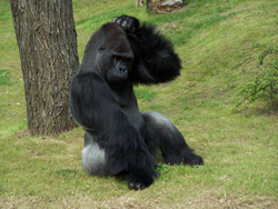 Gorilla maintains meditation while scratching an itch. You can too. Image courtesy of Steven Straiton (ST33VO) via Flickr