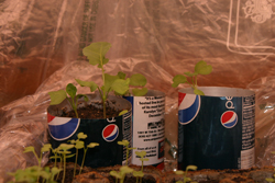 Seedlings growing in truncated aluminum soda cans.