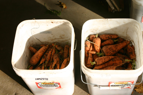 Nantes Carrots on the left, Danvers on the right. Image courtesy of Kool Cat.