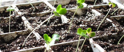 0085 Broccoli Seedling