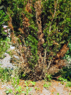 Stressed Hick's yew in the dry weather - Photo of hedge - June Garden Tour Part I - Two-bit Guru