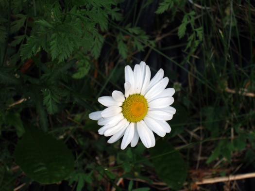 Two-bit Guru - Friday Link List 32: GMO horrors, recycled art - Photo of a Daisy