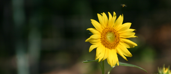 Two-bit Guru | Asking For Wisdom | Photo of a yellow flower with an insect hovering above it.
