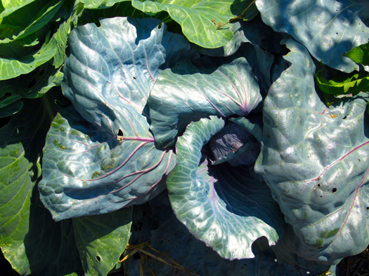 Two-bit Guru - Friday Link List 34: Rainwater Outlaw, Meditation - In this week's link list - GM sugar beets, rainwater collection crime, major energy company meditates, meditation at the Olympics, & more. - Photo of cabbage in the garden - green, leafy, gardening