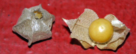 Two-bit Guru - Growing Ground Cherries - Photo of ground cherry in husk and an open husk showing the fruit.