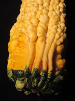 Two-bit Guru | Squash and Gourds | Photo of squash volunteer that grew in an interesting shape | gardening, mutant, art, interesting