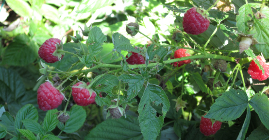 0173 Raspberry Harvesting - raspberries