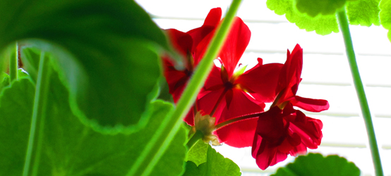 Two-bit Guru | How to Root Geraniums