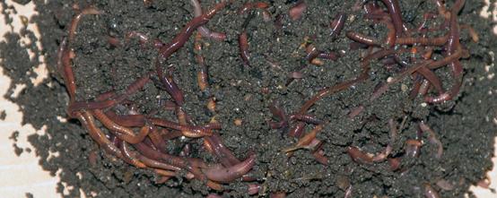 Two-bit Guru | Worms in Winter | Photo of Red Wiggler Worms in Dirt.